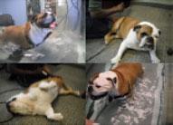 canine-rehab